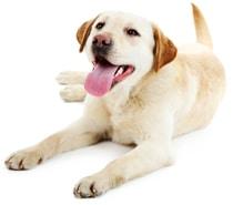 Entzückender Hund, der seine Zunge heraushält